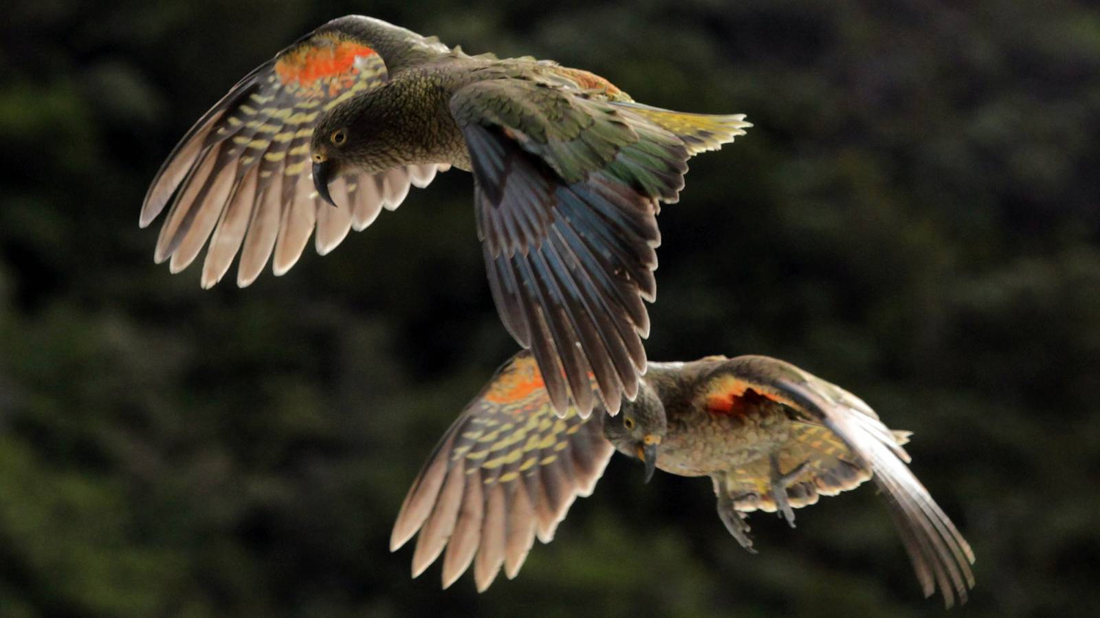 For sale: one endangered kea, but beyond the border it's completely legal