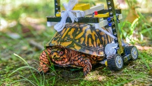 Turtle that used Lego wheelchair to heal is released