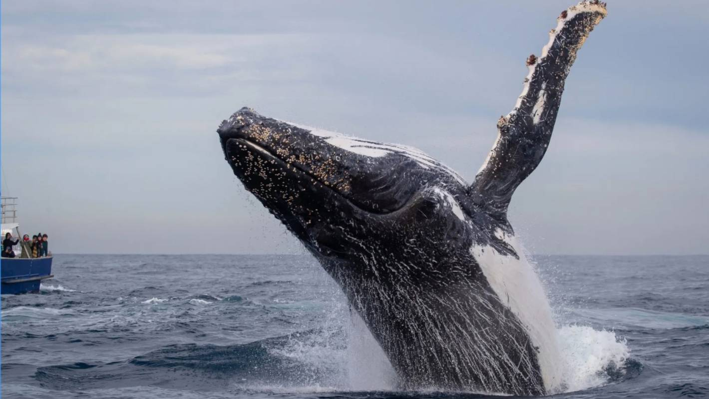 'Best of the season': Whales perform 'every trick in the book' off Sydney Harbour