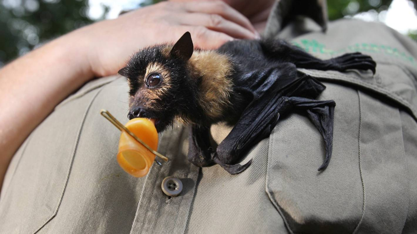 Coronavirus: Multiple dead bat consignments intercepted at New Zealand borders