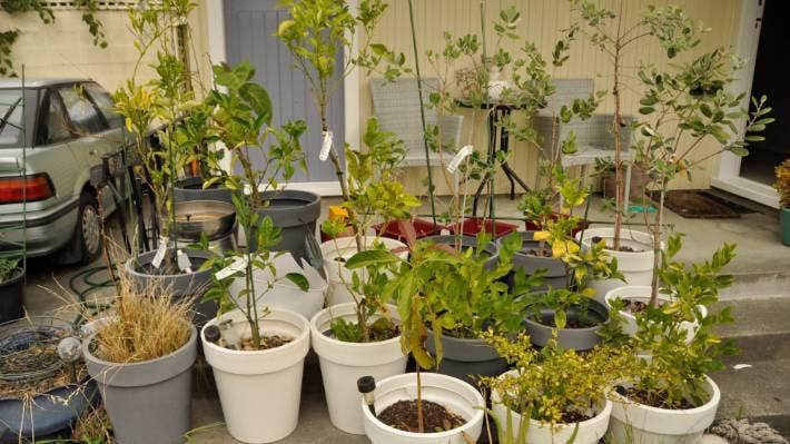 How To Grow Fruit Trees In Pots Stuff Co Nz