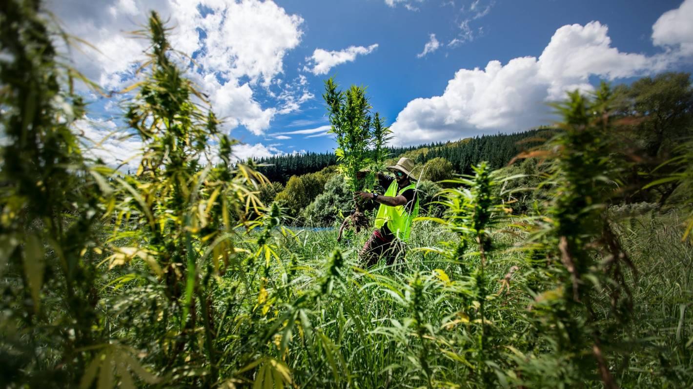 Cannabis referendum New Zealand | Stuff - cover