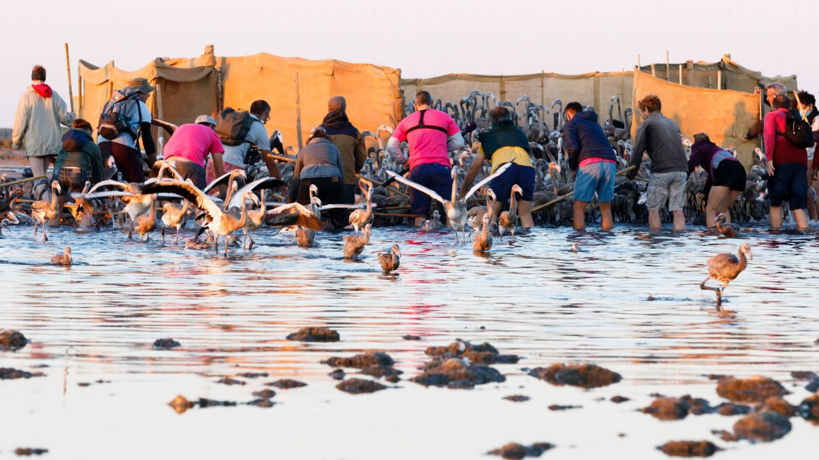 More than 50,000 pink flamingos mass in France