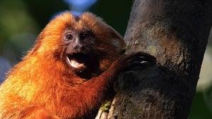 Endangered Brazilian monkeys get their own bridge