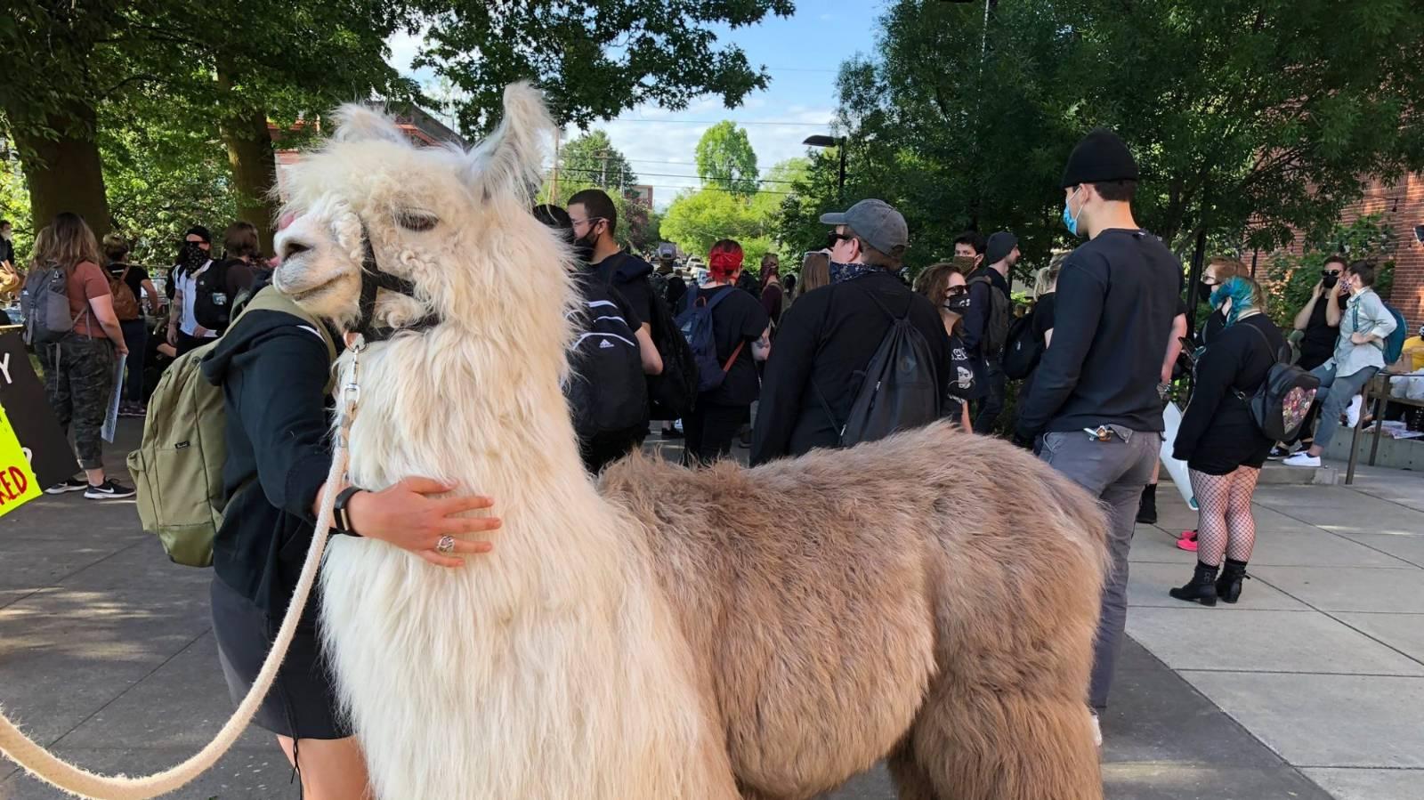 Therapy llama 'Caesar the No Drama Llama' calms tensions at protests