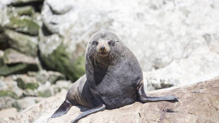 A seal temporarily blocked traffic on State Highway 1 in Wellington, but police turned up to find nothing. (File photo)