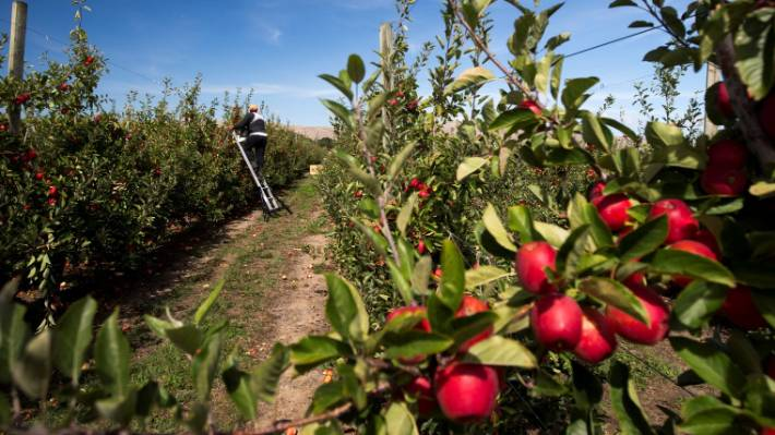 Hawke's Bay growers facing a serious labour shortage are working hard to entice more New Zealand workers for this year's harvest.
