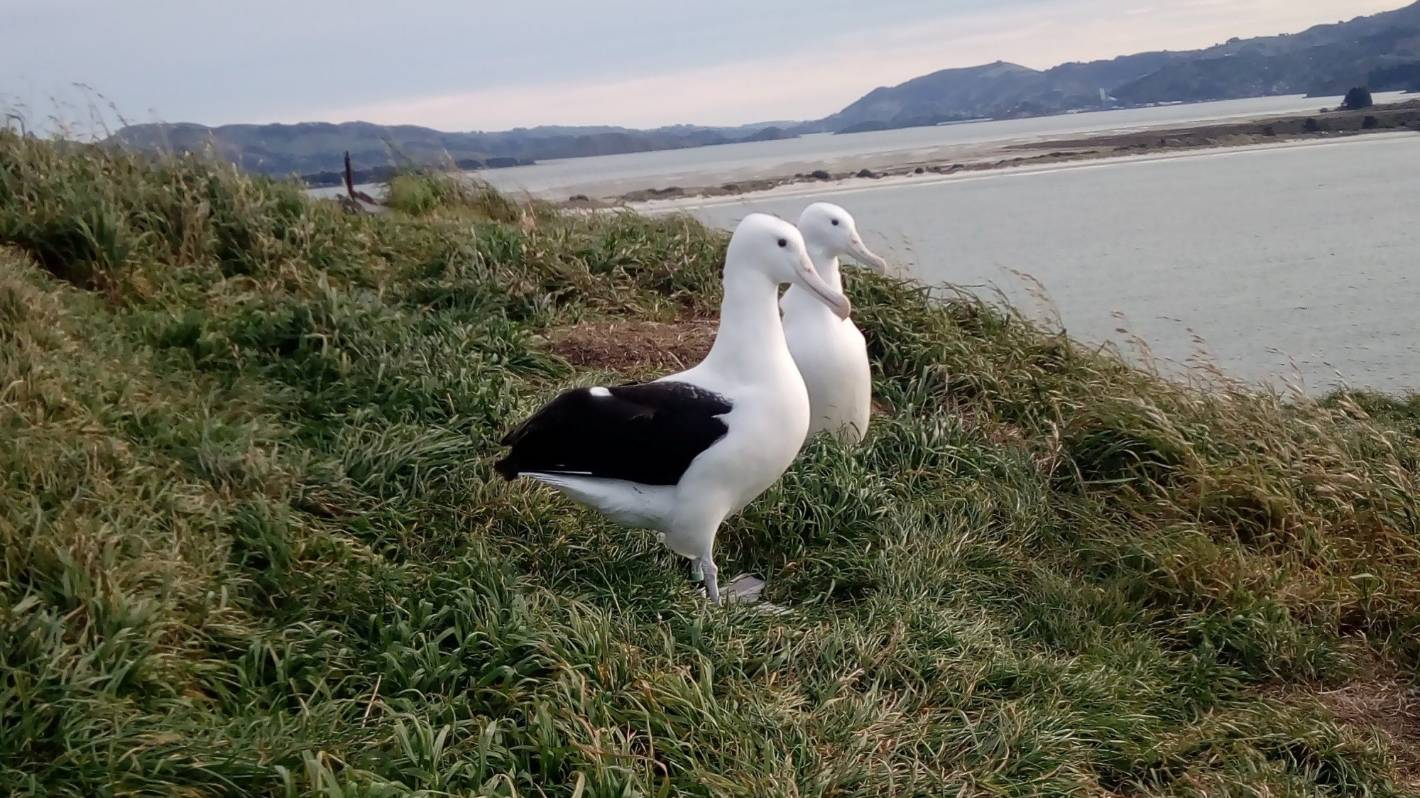 First new season albatross returns to Otago colony