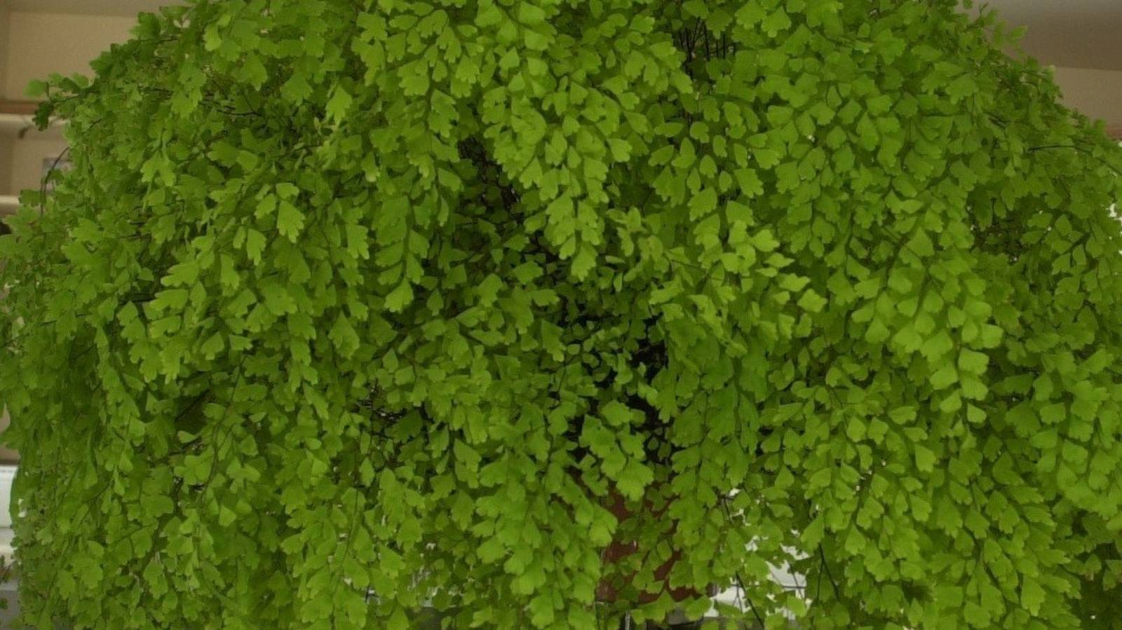 Maidenhair ferns: the plant that 'needs mermaid tears' to live