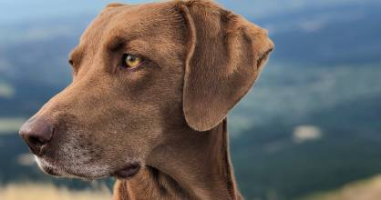 Five-year-old Weimaraner cross Skye, who died after suspected algae poisoning at the Arthur Adcock Memorial Reserve in ...