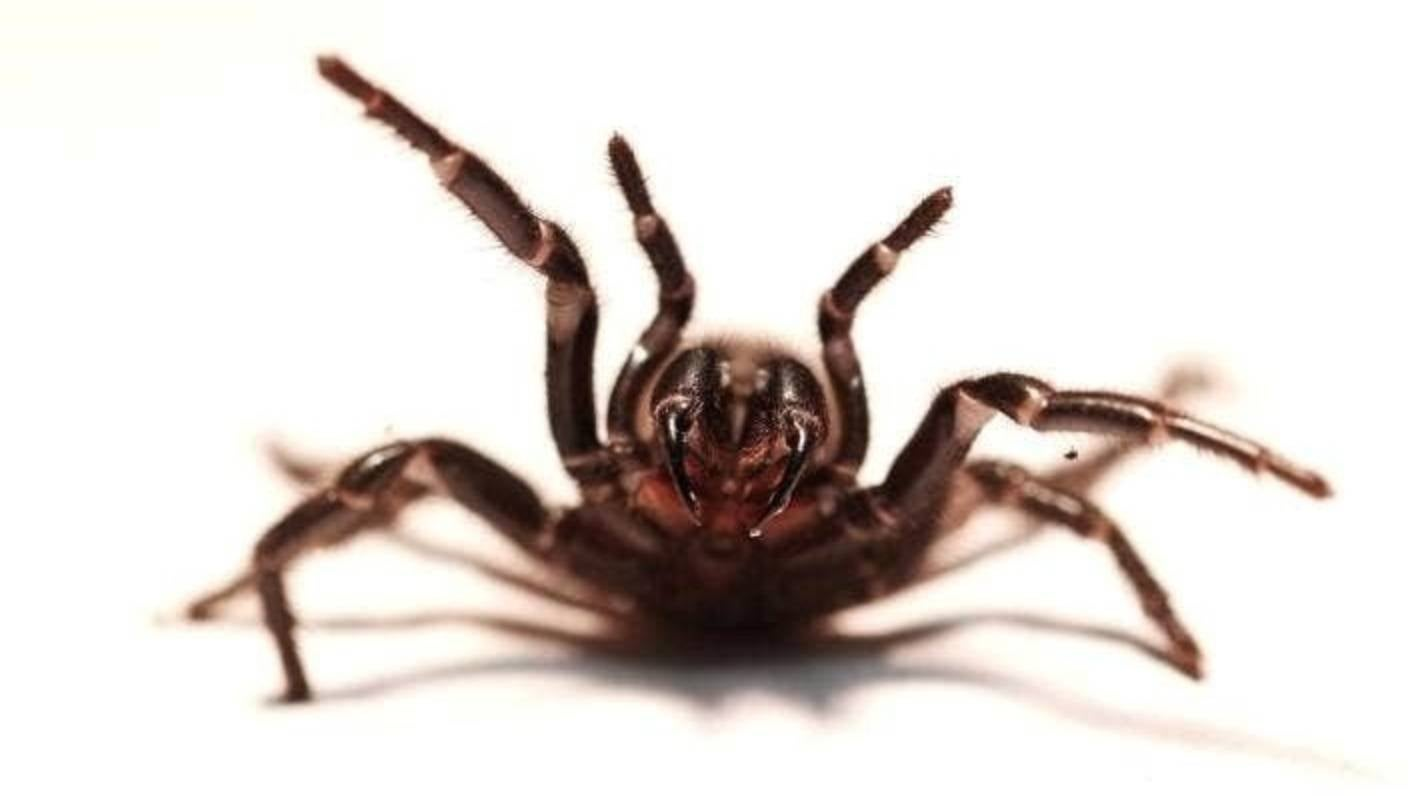 It's spider season: Weather forecast in Australia comes with a side of deadly spiders