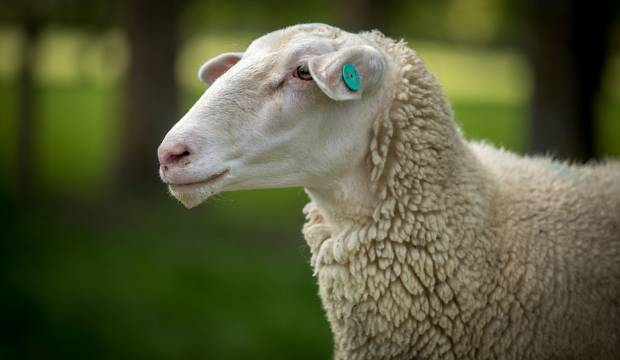 Man embroiled in legal battle after shooting neighbour's dog to stop sheep attack