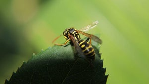 Wasps put planes at risk during take-off in Brisbane