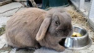 SPCA 12 days of Christmas pets: Meet Sable the rabbit