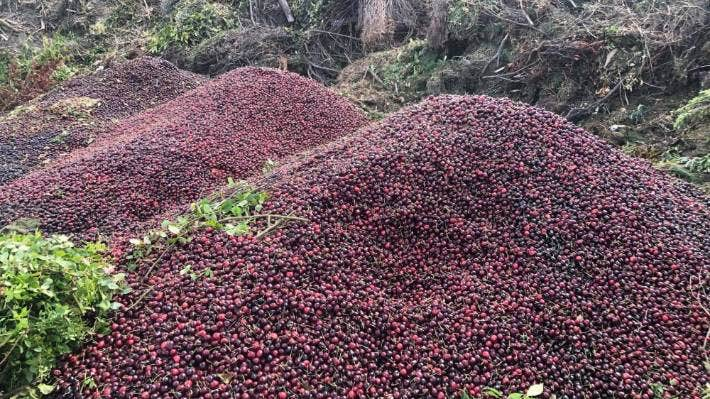 Central Otago cherries dumped at the Cromwell transfer station after heavy rain devastated local crops.