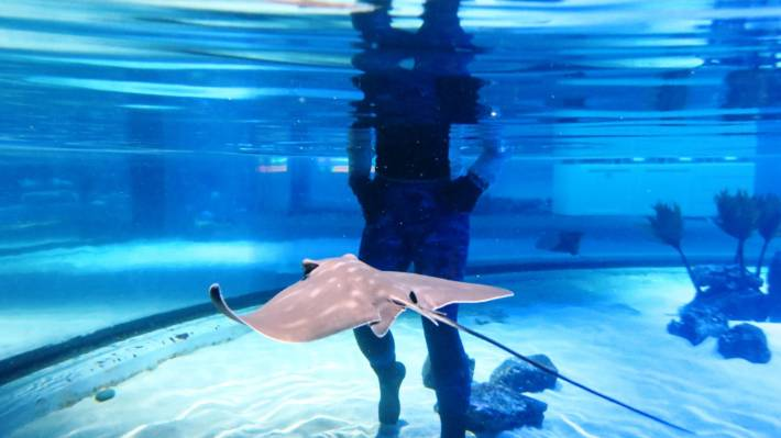 One of the eagle ray pups born at the aquarium. The pups are born live.