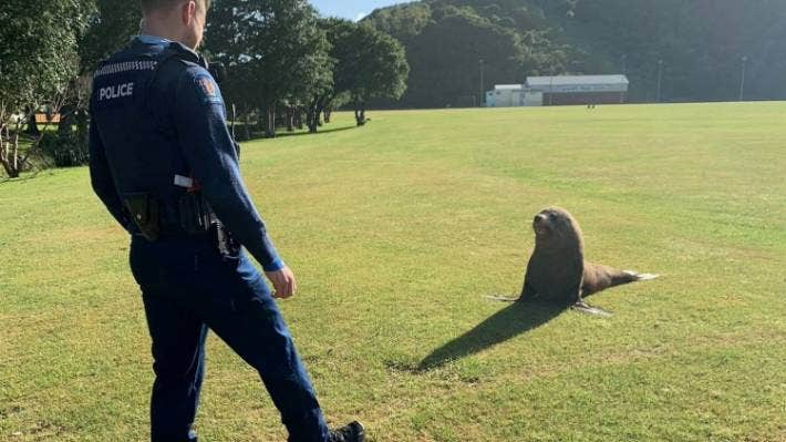 Pakowhai Rd is not the only odd place for a seal to show up – a seal was spotted in Te Whiti Park in Lower Hutt's Waiwhetu earlier this year. A police officer used a sausage to lure it back into a stream which borders the park.