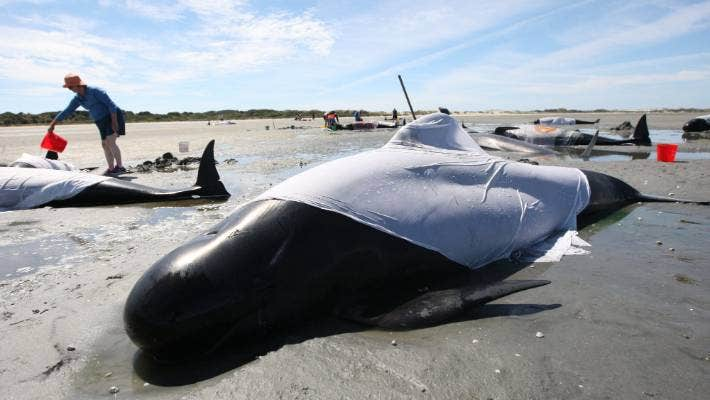 22022021. News. Photo Nina Hindmarsh / Stuff 49 pilot whales have stranded at Farewell Spit, in Golden Bay, in February 2021.