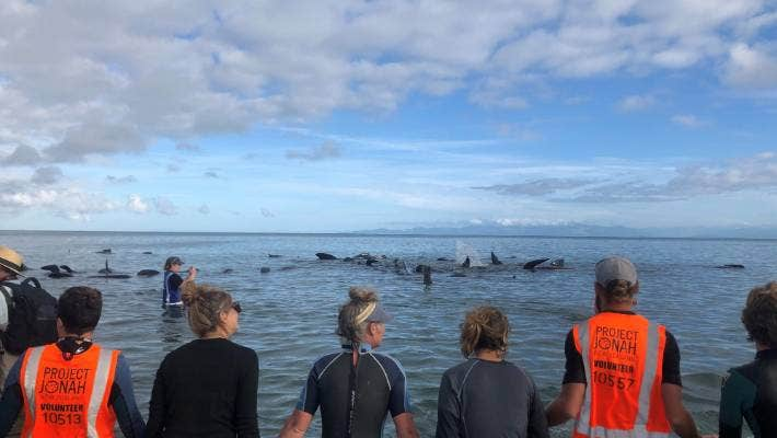 As the high tide came in on Monday evening, roughly 38 of the 49 long-finned pilot whales that had been stranded were encircled by the human chain, after being re-grouped by the volunteers.