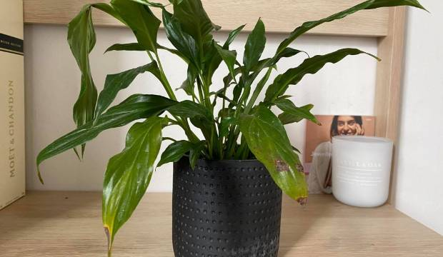Houseplants looking sick? The plant doctor answers your questions