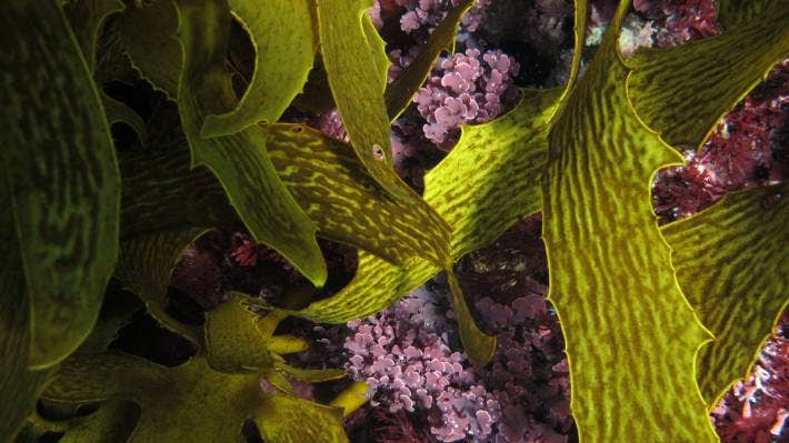 The research used coralline algae, the pink-coloured marine life in the centre, to test the ability of reef species to adapt.