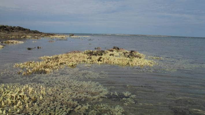 A coral reef during a bleaching event. The white-coloured coral has ejected its algae. The black-coloured coral is dead.