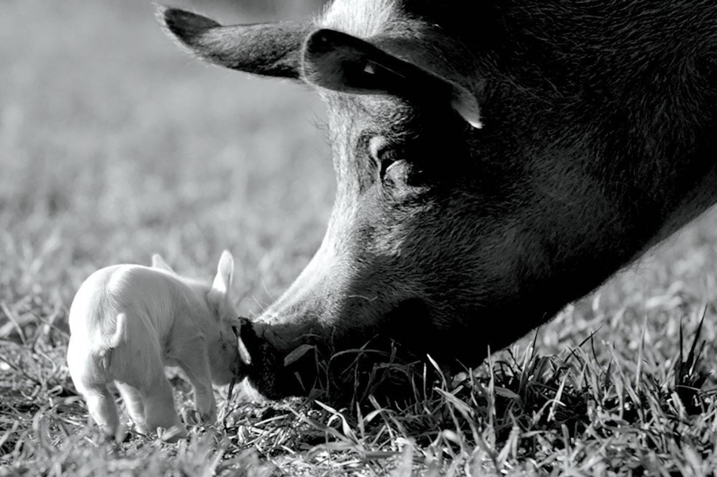 Gunda: Why a black-and-white documentary about a pig is 2021's best movie so far | Stuff.co.nz