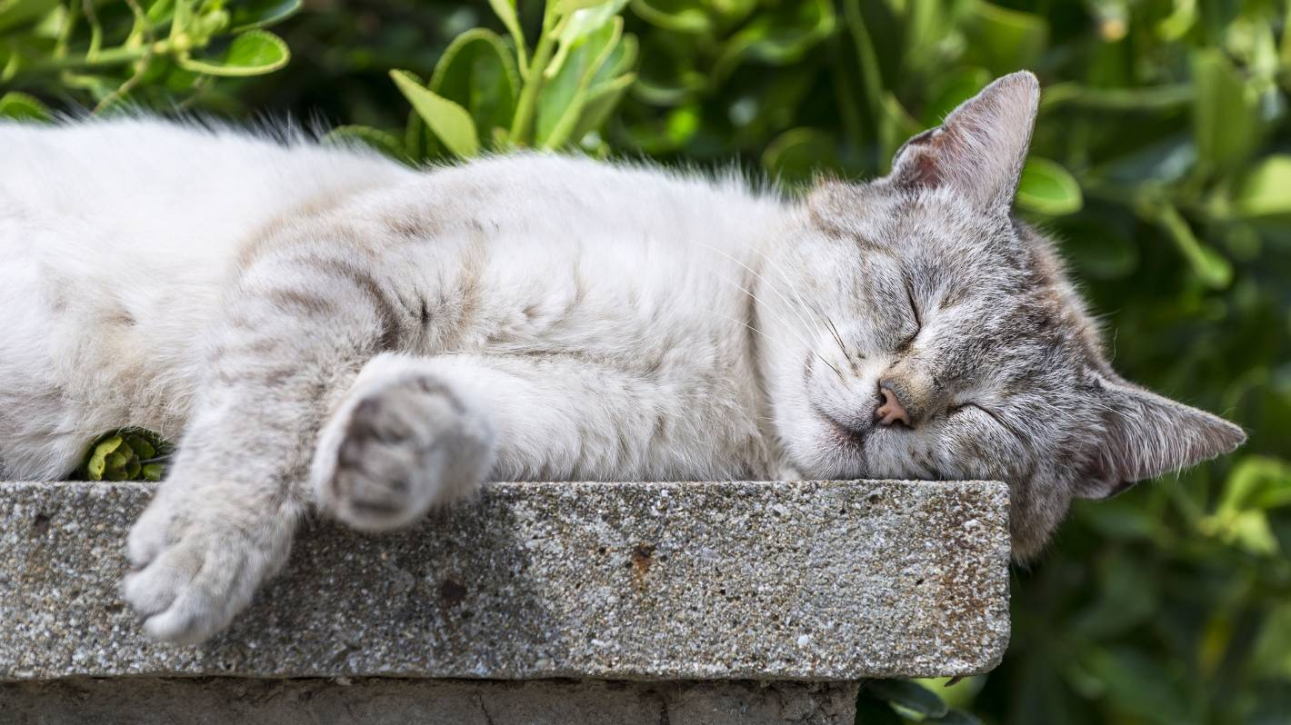 Most Popular Cat Breeds During COVID-19