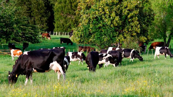 """New Zealand research into a methane vaccine for cows could be a """"game changer"""" for animal emissions globally."""