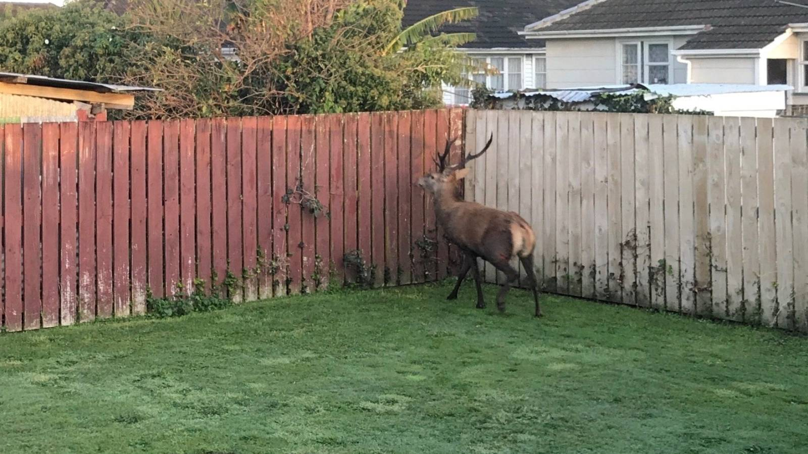 Calls for more culling as deer munch their way through gardens