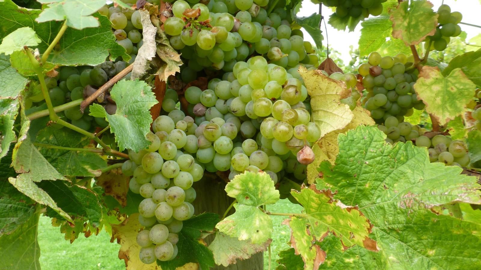 Sauvignon Blanc: New Zealand's bold, explosive national grape