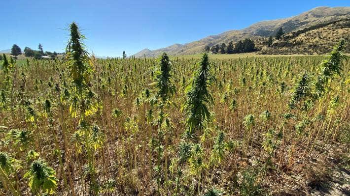 South Taranaki medicinal cannabis company Greenfern Industries will publicly list on NZX main board next week.