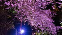 Cherry trees dripping with blossoms lit up for night-time tours
