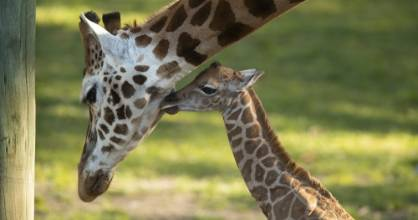 The newborn calf with its mother Shira at Orana Wildlife Park in Christchurch on Wednesday afternoon.