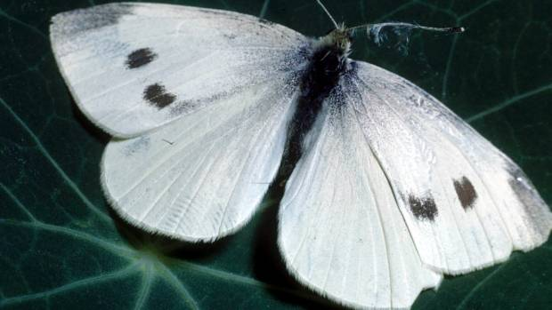 White butterfly numbers have exploded in the warm, moist summer.